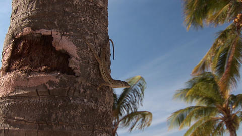 Lizard on palm tree Stock Video Footage