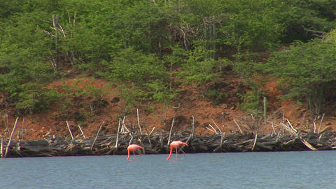 Flamingo's Stock Video Footage