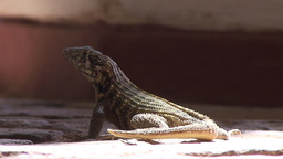 Trinidad Lizards in the street close up Footage
