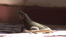 Trinidad Lizards in the street close up Stock Video Footage