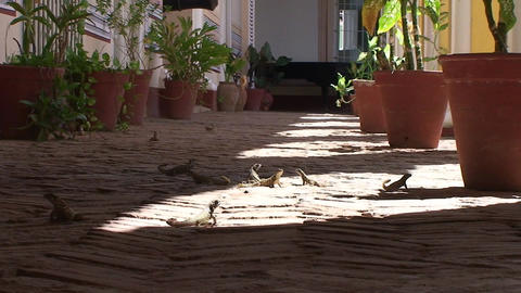Trinidad Lots of lizards in the street Footage