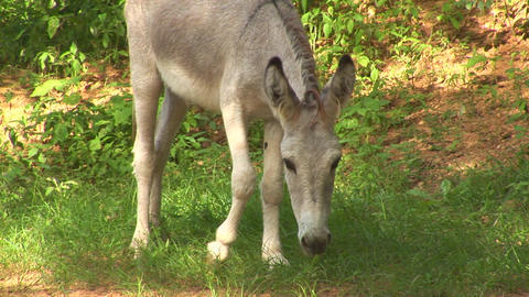Donkey Stock Video Footage
