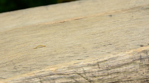 Small worm crawling on wood, inchworm Stock Video Footage