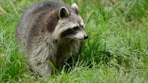 Raccoon walking through a green meadow towards the Footage