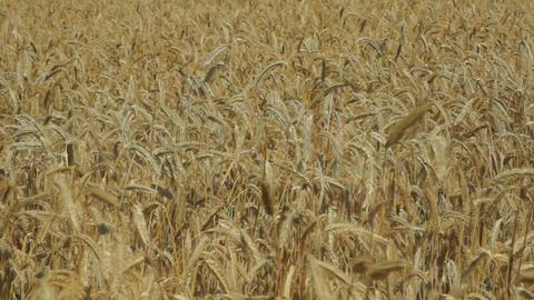 Rye farm field Stock Video Footage
