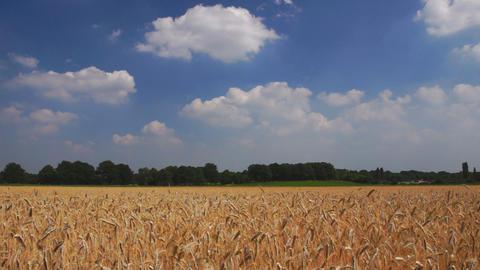Rye farm field Footage