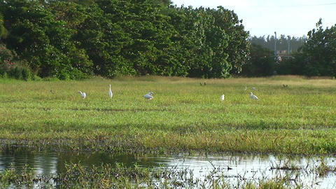 Cuba Birds at a pond Stock Video Footage