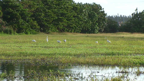 Cuba Birds at a pond Footage