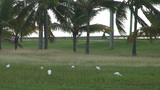 Cuba Birds at a street Footage