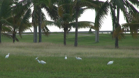 Cuba Birds at a street Stock Video Footage