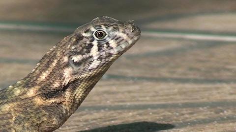 Cuba lizard CU on the street 2 Stock Video Footage