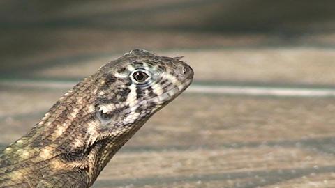 Cuba lizard CU on the street 4 Stock Video Footage