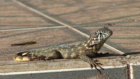 Cuba lizard on the street 2 Stock Video Footage