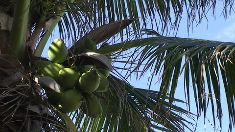 Varadero Coconuts in palmtree 2 Footage