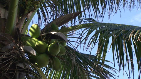 Varadero Coconuts in palmtree 2 Stock Video Footage