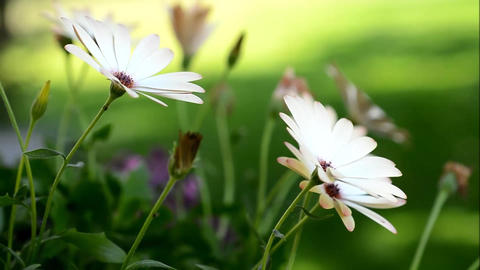 White Osteospermum stock footage