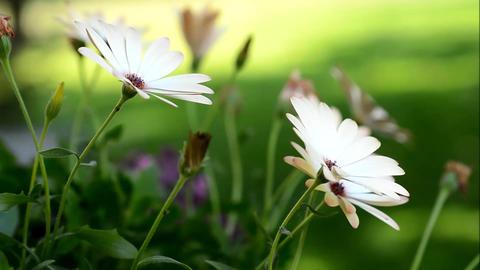 White Osteospermum Stock Video Footage