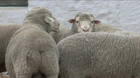Sheeps Stock Video Footage