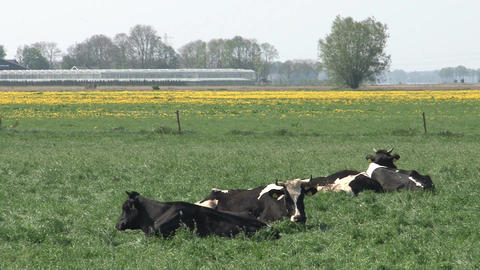 Cows in farmland Stock Video Footage
