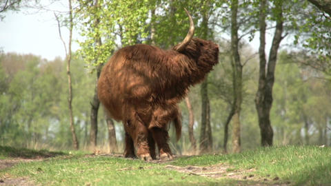 Scottish Highlanders in wood Stock Video Footage