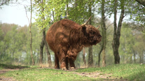 Scottish Highlanders in wood Footage