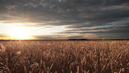 Wheat Field Panorama Stock Video Footage