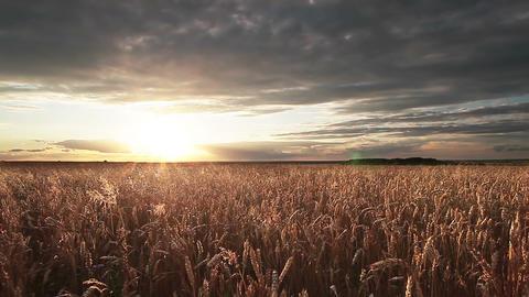 Wheat Field Panorama Stock Video Footage