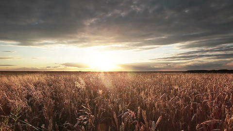 Wheat Field Panorama Footage