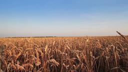 Wheat Field Stock Video Footage