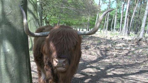 Scottish Highlanders CU Stock Video Footage