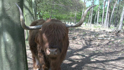 Scottish Highlanders CU stock footage