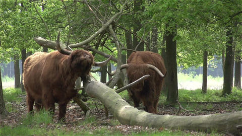 017 Scottish Highlanders CU in slowmotion 400fps Stock Video Footage