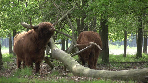 017 Scottish Highlanders CU in slowmotion 400fps Footage