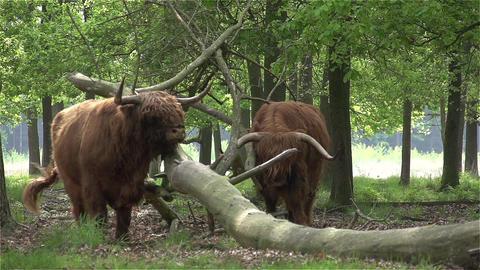 017 Scottish Highlanders CU in slowmotion 400fps Stock Video Footage