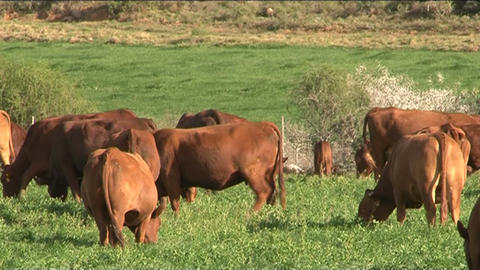 Cows in grassland 2 Stock Video Footage