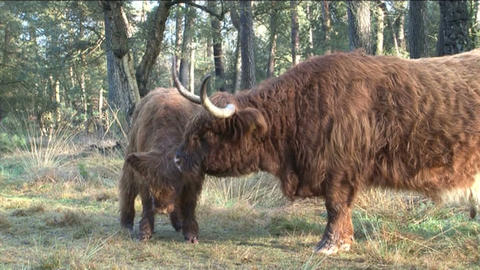 Scottish Highlanders Stock Video Footage