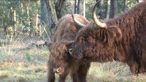 Scottish Highlanders Stock Video Footage