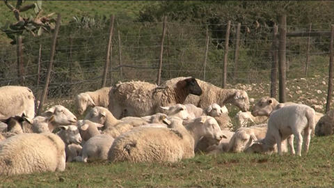 Sheeps in grassland Stock Video Footage