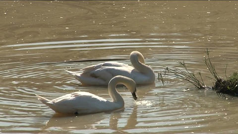 Swans in pond Stock Video Footage