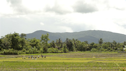 Wide Landscape View of Thai Farmers Planting Rice  Footage