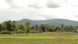 Wide Landscape View of Thai Farmers Planting Rice Stock Video Footage