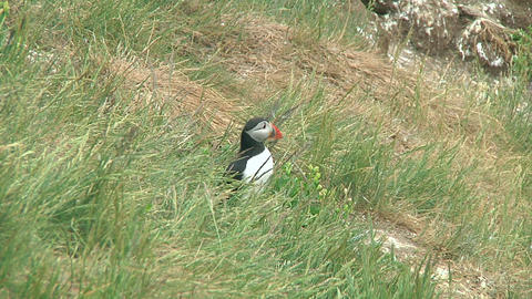 Puffin Footage