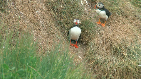 Puffin Stock Video Footage