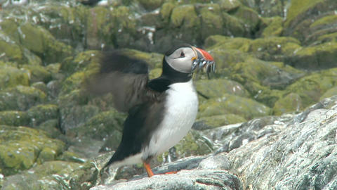Single puffin Footage