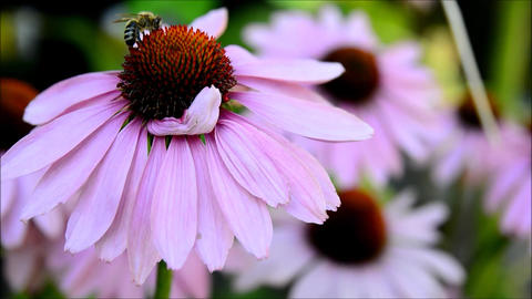 Flower with bee Stock Video Footage