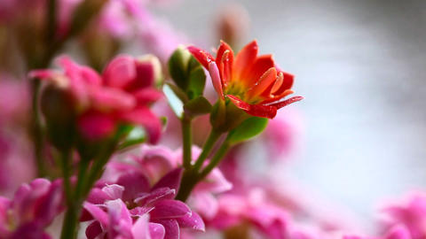 Red and pink kalanchoe Stock Video Footage
