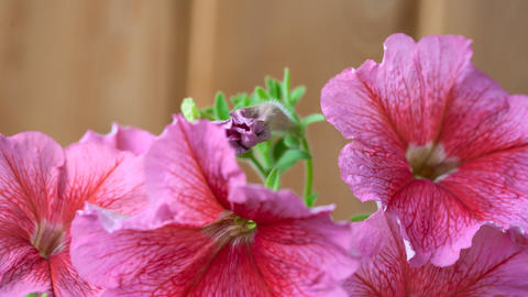 Blossom petunia Stock Video Footage