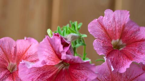 Blossom petunia Stock Video Footage