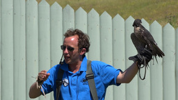Peregrine Falcon Stock Video Footage