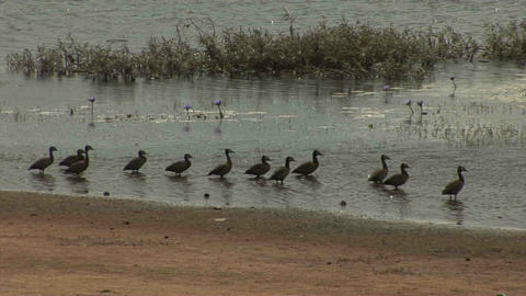 Geese Ducks, Landscape in Mozambique Stock Video Footage